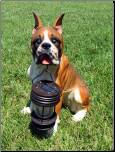 BOXER DOG CARRYING A SOLAR LANTERN (B5186A)